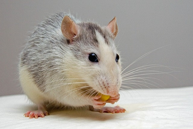 Best Way To Get Rid Of Rats