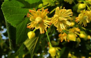 Linden Blossom Linden Tree Tree Yellow Flowers